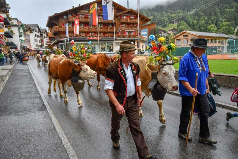 The annual descent of cattle from the high pastures is a fun event to witness during Autumn/Fall in Switzerland.
