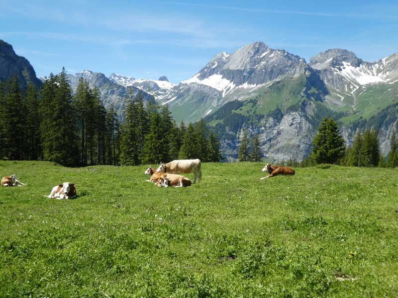 Cows grazing at Oeschinen Lake, Switzerland