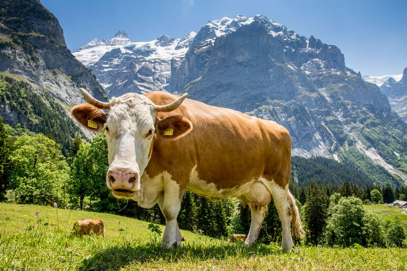 Swiss Brown cow near Grindelwald