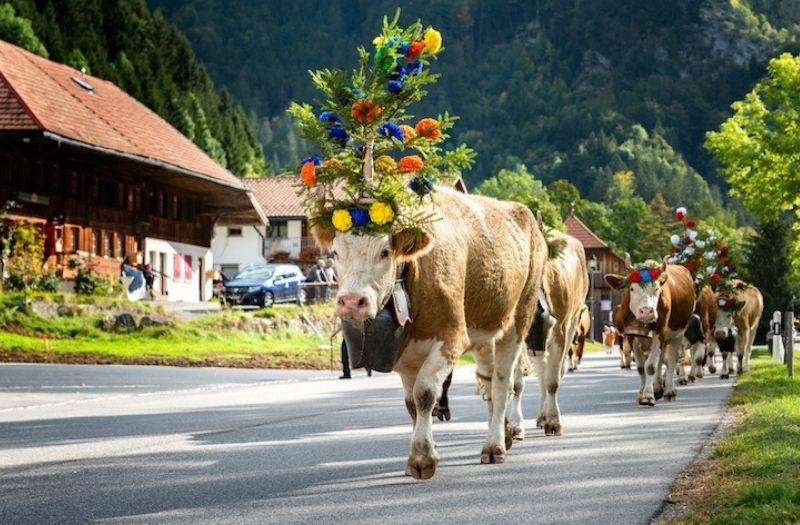 Cattle parade in Charmey, Switzerland